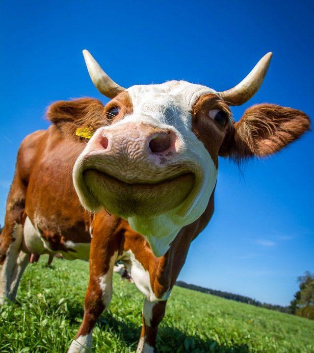 cow, funny, ruminant